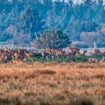 Hjorte i brunst-10