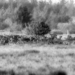 Hjorte i brunst-11