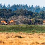 Hjorte i brunst-12